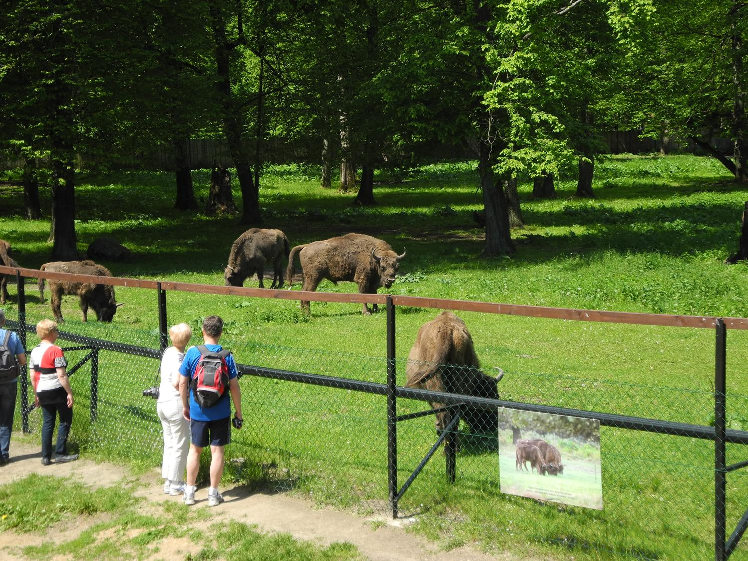 bialowieza polish bison what to do in eastern poland