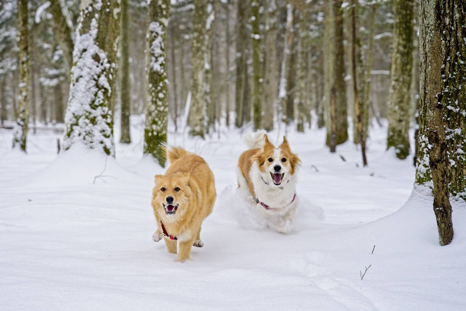bialowieza forest in winter ith dog poland with dogs
